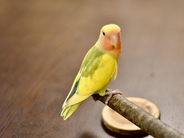 動物・鳥用かじり木・とまり木(枝状)